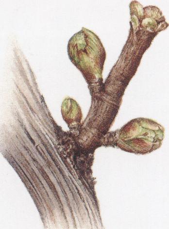 冬季庭院葡萄树修剪图解